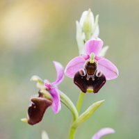 Ophrys fuciflora - l'ophrys bourdon
