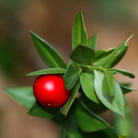 Ruscus aculeatus - le fragon faux houx